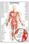 Human Body: Major Anterior Muscles Maxi Poster (61x91,50cm)
