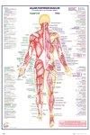 Human Body: Major Posterior Muscles Maxi Poster (61x91,50 cm)